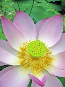 lotus_02
