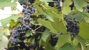 georgia-grape