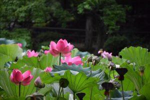 ピンクの花が咲いたハスの花