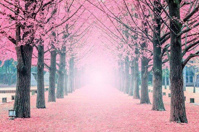 ピンク色の並木の風景